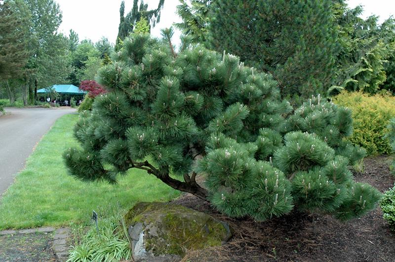 Thunderhead Anese Black Pine