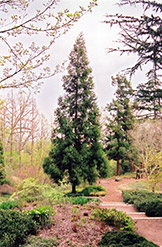 Japanese Cedar (Cryptomeria japonica) at Plumline Nursery