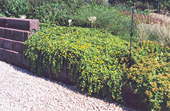 Creeping Jenny (Lysimachia nummularia) at Plumline Nursery