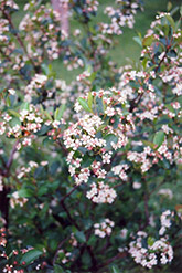 Black Chokeberry (Aronia melanocarpa) at Plumline Nursery