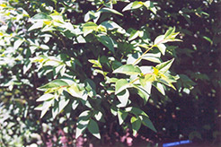 Common Privet (Ligustrum vulgare) at Plumline Nursery