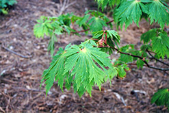 Fullmoon Maple (Acer japonicum) at Plumline Nursery