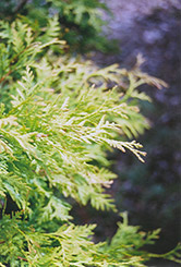Golden Globe Arborvitae (Thuja occidentalis 'Golden Globe') at Plumline Nursery
