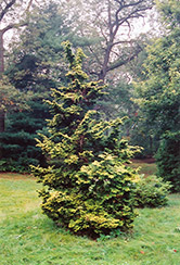 Slender Golden Falsecypress (Chamaecyparis obtusa 'Gracilis Aurea') at Plumline Nursery
