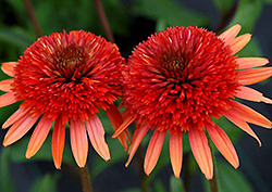 Coral Reef Coneflower (Echinacea 'Coral Reef') at Plumline Nursery