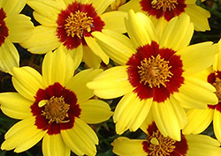 Gold Nugget Tickseed (Coreopsis 'Gold Nugget') at Plumline Nursery