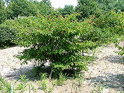 French Vanilla Pagoda Dogwood (Cornus alternifolia 'Frevazam') at Plumline Nursery