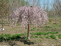 Pink Snow Showers Weeping Cherry (Prunus 'Pisnshzam') at Plumline Nursery