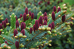 Red Cone Spruce (Picea abies 'Acrocona') at Plumline Nursery