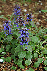Caitlin's Giant Bugleweed (Ajuga reptans 'Caitlin's Giant') at Plumline Nursery