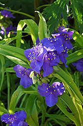 Sweet Kate Spiderwort (Tradescantia x andersoniana 'Sweet Kate') at Plumline Nursery
