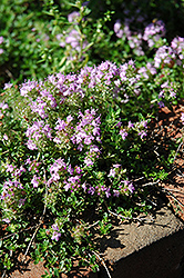 Annie Hall Thyme (Thymus serpyllum 'Annie Hall') at Plumline Nursery