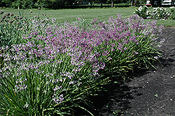 Nodding Onion (Allium cernuum) at Plumline Nursery