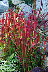 Red Baron Japanese Blood Grass (Imperata cylindrica 'Red Baron') at Plumline Nursery