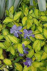 Illumination Periwinkle (Vinca minor 'Illumination') at Plumline Nursery