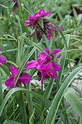 Red Grape Spiderwort (Tradescantia x andersoniana 'Red Grape') at Plumline Nursery