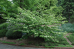 Pagoda Dogwood (Cornus alternifolia) at Plumline Nursery