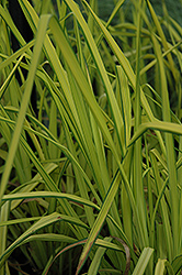 Bowles Golden Sedge (Carex elata 'Aurea') at Plumline Nursery