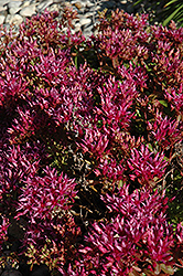 Dragon's Blood Stonecrop (Sedum spurium) at Plumline Nursery