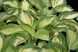 June Hosta (Hosta 'June') at Plumline Nursery