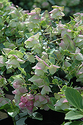Kent Beauty Oregano (Origanum rotundifolium 'Kent Beauty') at Plumline Nursery