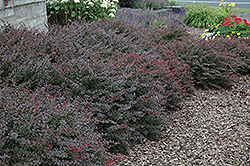 Crimson Pygmy Japanese Barberry (Berberis thunbergii 'Crimson Pygmy') at Plumline Nursery