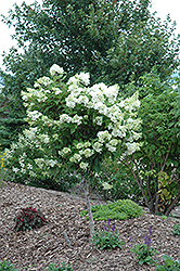 Pink Diamond Hydrangea (tree form) (Hydrangea paniculata 'Pink Diamond (tree form)') at Plumline Nursery