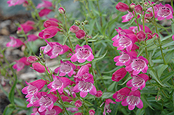 Red Rocks Beard Tongue (Penstemon x mexicali 'Red Rocks') at Plumline Nursery