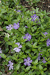 Common Periwinkle (Vinca minor) at Plumline Nursery