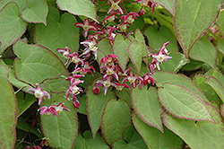 Bishop's Hat (Epimedium x rubrum) at Plumline Nursery