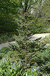 Howell's Dwarf Tigertail Spruce (Picea bicolor 'Howell's Dwarf Tigertail') at Plumline Nursery