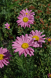 Robinson's Pink Painted Daisy (Tanacetum coccineum 'Robinson's Pink') at Plumline Nursery