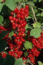 Red Lake Red Currant (Ribes sativum 'Red Lake') at Plumline Nursery