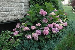 Endless Summer® Hydrangea (Hydrangea macrophylla 'Endless Summer') at Plumline Nursery