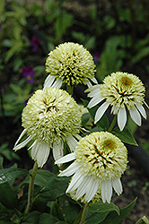 Coconut Lime Coneflower (Echinacea 'Coconut Lime') at Plumline Nursery