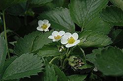 Everbearing Strawberry (Fragaria 'Everbearing') at Plumline Nursery