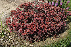Purple Emperor Stonecrop (Sedum 'Purple Emperor') at Plumline Nursery