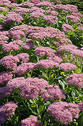 Brilliant Stonecrop (Sedum spectabile 'Brilliant') at Plumline Nursery