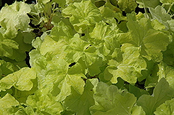 Citronelle Coral Bells (Heuchera 'Citronelle') at Plumline Nursery