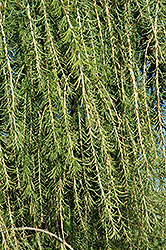 Puli Weeping Larch (Larix decidua 'Puli') at Plumline Nursery