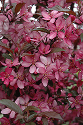 Royal Raindrops Flowering Crab (Malus 'Royal Raindrops') at Plumline Nursery