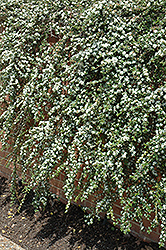 Coral Beauty Cotoneaster (Cotoneaster dammeri 'Coral Beauty') at Plumline Nursery