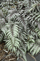 Pewter Lace Painted Fern (Athyrium nipponicum 'Pewter Lace') at Plumline Nursery