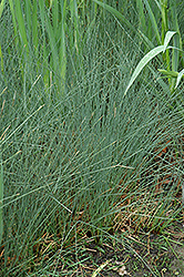 Soft Rush (Juncus inflexus) at Plumline Nursery