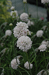 White Sea Thrift (Armeria maritima 'Alba') at Plumline Nursery