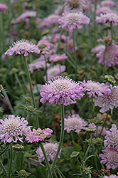 Pink Mist Pincushion Flower (Scabiosa 'Pink Mist') at Plumline Nursery