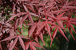 Beni Otake Japanese Maple (Acer palmatum 'Beni Otake') at Plumline Nursery