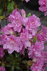 Elsie Lee Azalea (Rhododendron 'Elsie Lee') at Plumline Nursery