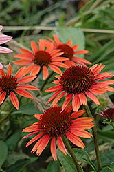 Big Sky Sundown Coneflower (Echinacea 'Big Sky Sundown') at Plumline Nursery