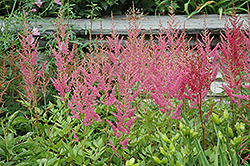 Visions in Pink Chinese Astilbe (Astilbe chinensis 'Visions in Pink') at Plumline Nursery